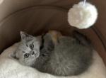 Chanel - British Shorthair Kitten For Sale - Aurora, CO, US