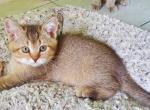 Mia - Scottish Straight Kitten For Sale - Miami, FL, US