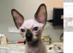 Kim - Sphynx Kitten For Sale - Oklahoma City, OK, US