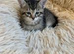 Coco - Domestic Kitten For Sale - Westfield, MA, US