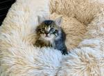 Theodore - Domestic Kitten For Sale - Westfield, MA, US