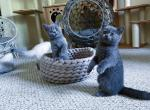 British blue shorthair - British Shorthair Kitten For Sale - Virginia Beach, VA, US