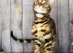 Bengal very beautiful female - Bengal Kitten For Sale - Brookline, MA, US