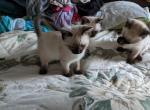 Keiki Spring litter - Siamese Kitten For Sale - Rochester, WA, US