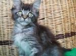Melinda maine coon female kitten - Maine Coon Kitten For Sale - Bayville, NJ, US