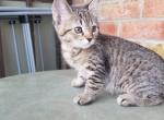 Pinky - Siberian Kitten For Sale - Quincy, MA, US