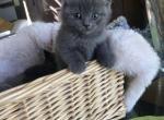 Scottish Fold Blue Prince - Scottish Fold Kitten For Sale - Camas, WA, US