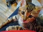 Richard Black - Bengal Kitten For Sale - Bradner, OH, US