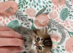 oreo - British Shorthair Kitten For Sale - Staten Island, NY, US