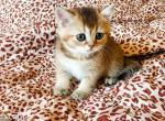 Nick green eyed golden shaded baby - Scottish Straight Kitten For Sale - CA, US