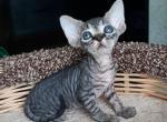 Keiko De - Devon Rex Kitten For Sale - Miami, FL, US