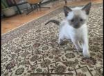 Mashas kitten - Siamese Kitten For Sale -