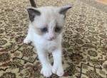 Mashas 3kitten - Siamese Kitten For Sale - Providence, RI, US