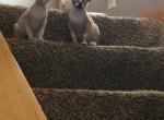 Sphynx Seal Mink Cleveland Columbus Pittsburgh - Sphynx Kitten For Sale -