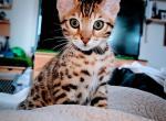 Squeak - Bengal Kitten For Sale -
