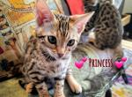 Princess - Bengal Kitten For Sale -