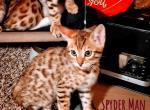 Spyderman - Bengal Kitten For Sale -