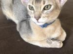 Abyssinian - Abyssinian Kitten For Sale - Providence, RI, US