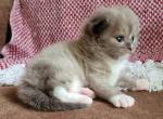 Seal mitted mink - Ragdoll Kitten For Sale - Farmville, VA, US