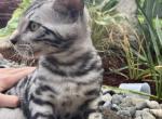 Tornado silver bengal - Bengal Kitten For Sale -
