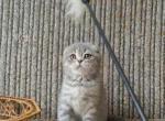 Sassy - Scottish Fold Kitten For Sale - FL, US