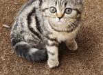 Jasmine - Scottish Straight Kitten For Sale - Philadelphia, PA, US