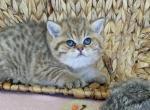 Daiquiri - British Shorthair Kitten For Sale -