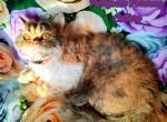 Selkirk rexes - Selkirk Rex Kitten For Sale - Fort Wayne, IN, US