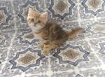 Gloria - British Shorthair Kitten For Sale - Chicago, IL, US