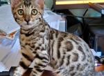 Tuxie Pink - Bengal Kitten For Sale -