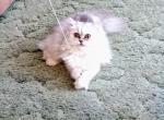 Silver Chinchilla Persian Female CFA Registered - Persian Cat For Sale -