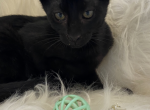 Melanistic F5 Savnnah - Savannah Kitten For Sale - West Hills, CA, US