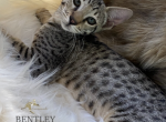Bentley F5 exotic Savannah - Savannah Kitten For Sale -