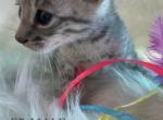 Prada F5 SBT Savannah - Savannah Kitten For Sale -