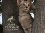 Chanel  F5 SBT Savannah - Savannah Kitten For Sale - West Hills, CA, US