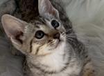 Roxy F5SBT - Savannah Kitten For Sale -