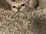 Sophia litter - Singapura Kitten For Sale