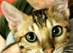 Burst Green - Bengal Kitten For Sale -