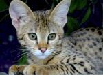 F1 savannah kittens - Savannah Kitten For Sale - Miami, FL, US