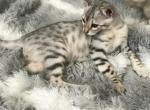 Bently - Savannah Kitten For Sale - Las Vegas, NV, US