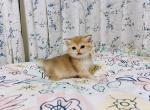 nola - British Shorthair Kitten For Sale -