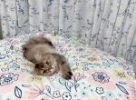 oreo - British Shorthair Kitten For Sale -