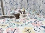 bobby - Munchkin Kitten For Sale -