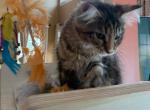 Maine Coon female kitten - Maine Coon Kitten For Sale -