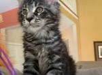 Maine Coon male kitten - Maine Coon Kitten For Sale -