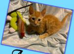 Austin - Munchkin Kitten For Sale -