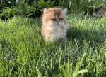 British kittens long hair - British Shorthair Kitten For Sale -