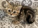 Scottish Fold Straight Black Classic Marble Boy - Scottish Fold Kitten For Sale -