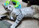 Silver Spotted Bengal - Bengal Kitten For Sale -