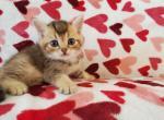 Leo - Scottish Straight Kitten For Sale - Miami, FL, US